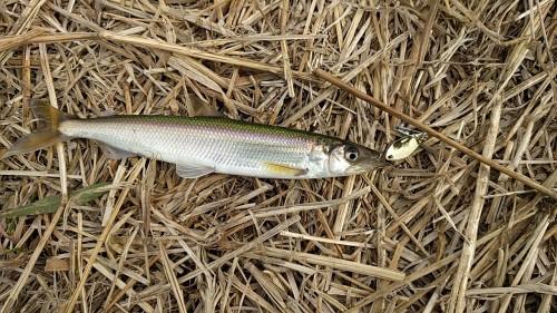 きゅうり魚 ルアーで釣った
